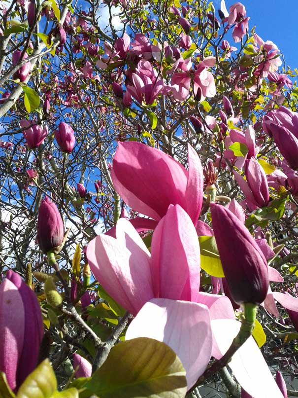 Magnolia Tree, Blossoming